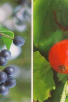 Sortie nature A la découverte des baies et fruits sauvages